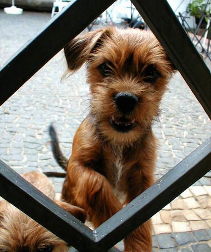 A small tan with black dog jumping up at a black metal fence looking through a hole that is shaped like a triangle
