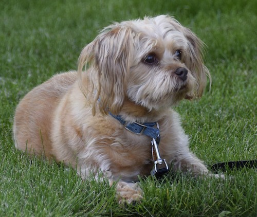 A thick coated, soft looking tan dog with longer hair on his head and hanging ears wearing a blue collar laying down in green grass