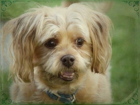 Close up head shot of a small tan dog with thick long hair coming from his ears, a black nose and dark eyes looking happy outside in grass