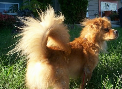 Back side view of a fawn colored small dog with a long thick coat, a tail that curls up over his back with long fringe hair coming from it, ears that hang to the sides, a black nose and dark eyes standing outside in long grass next to a tan house with red shutters