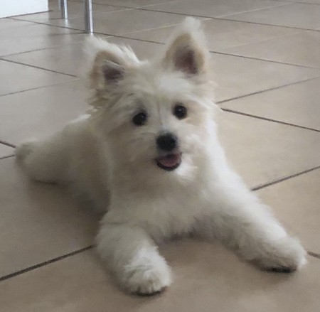 Front view of a small, fluffy, thick coated white dog with prick ears that stand up to a point, a little black nose and round dark eyes laying down on a white tiled floor