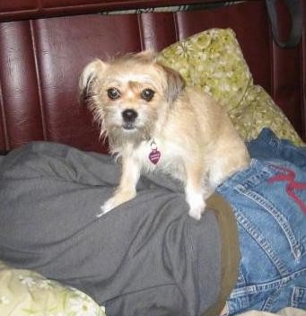 A scruffy little tan dog with longer hair on her face and coming from her hanging ears, wide dark round eyes and a black nose sitting on top of a person who is laying down on a bed sleeping