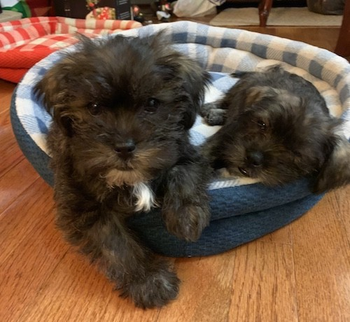 Two little long coated black puppies with some tan and white mixed in laying down on a round blue dog bed inside of a living room