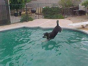 Buck the Shepherd/Husky/Rottie Mix front paws splashing down into the pool water
