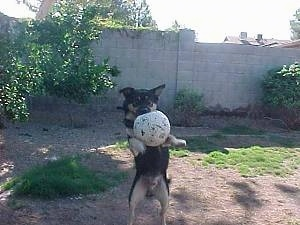 Buck the Shepherd/Husky/Rottie mix is landing with a soccer ball in its mouth as his front paws are off the ground