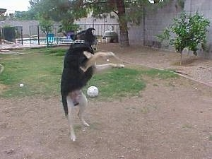 Buck the Shepherd/Husky/Rottie mix is landing from a jump to catch a ball