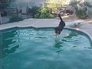 Buck the Shepherd/Husky/Rottie mix front paws reaching the pool water first as he jumps in