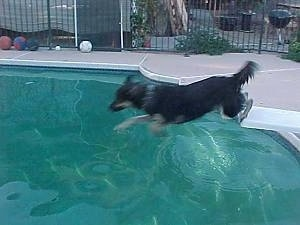 Buck the Shepherd/Husky/Rottie Mix diving into the pool off of the diving board