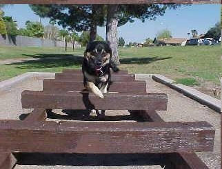 Buck the German Shepherd/Rottweiler/Husky mix is running and jumping over wooden planks in a park