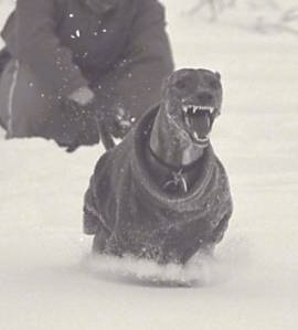 Glynis Cyfie Bryn the Whippet is running through the snow with its mouth open and teeth showing. There is a person kneeling down behind him