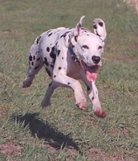 Olivia Kachina Kodak the Dalmatian is in motion running in grass with her mouth open and tongue is out