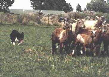 Dot the Border Collie hearding sheep
