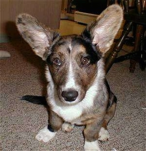 Jacob the Cardigan Welsh Corgi Puppy is sitting on a carpet in front of a wooden chair with its very large ears up and looking at the camera holder