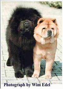A large black Chow Chow is standing next to a tan Chow Chow on a walkway and they are looking forward. The words - Photography by Wim Edel - are overlayed.