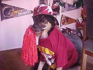 Buck the German shepherd is wearing an Arizona Cardinals Hat and shirt while sitting on a chair with a cheerleader pom pom in his mouth.  There are sports flats on the wall behind him.
