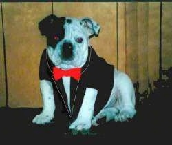 Mugzy the Bulldog is sitting in front of a wood paneled wall wearing a tuxedo shirt with a red bowtie