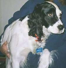 Close Up - Lady the black and white English Springer Spaniel is in the arm of a person