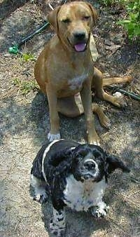 A Labrador/Pitbull mix is sitting behind a black with white Cocker Spaniel. They both are looking up