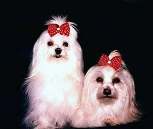 Two white Maltese dogs are sitting and laying next to each other. They are both wearing red with white polka dot ribbons.