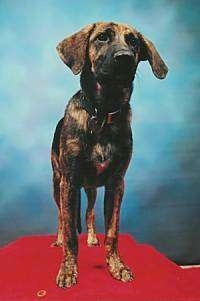 View from the front - A drop eared, brown with black brindle German Shepherd/Mountain Cur is standing on a red platform.