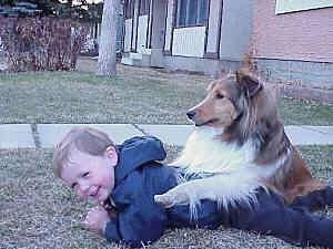 A smiling boy in a blue jacket is laying on his stomach in grass outside. There is a tan with white and black Shetland Sheepdog sitting on the boy's back.