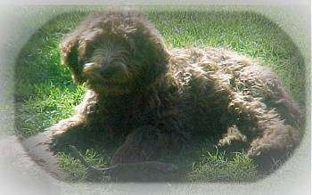 The left side of a black Australian Labradoodle that is laying across a yard and it is looking forward.