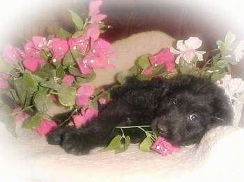 The right side of a black Australian Labradoodle puppy that is laying down on a couch, which is surronded by flowers