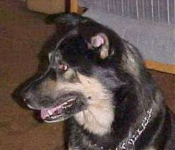 Side view head shot - A black with tan German Shepherd/Rottweiler/Husky mix is wearing a choak chain collar looking to the left. Its mouth is open and tongue is out.