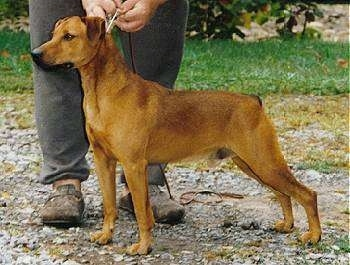 Side view - A red Mountain Cur dog is standing alert on gravel and there is a person in gray sweat pants and brown shoes holding its leash behind it.
