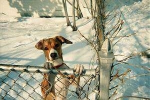 A tan with white hound-looking, tricolor, mixed breed dog is standing out in snow in a back yard jumped up with its front paws on top of a chain link fence.