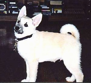 Left Profile - A perk-eared, tan with white Norwegian Buhund puppy is standing on a dark floor looking to the left with its tail curled up over its back.