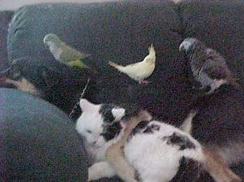 A cat and a dog sleeping on a couch with 3 birds sitting on top of the dog
