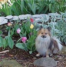 A red sable Pomeranian is sitting in a tulip flower bed and it is looking forward.