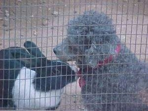 The front left side of a gray Toy Poodle that is sitting in dirt and it is looking to the left. There is a black with white bunny sniffing the Toy Poodles collar.