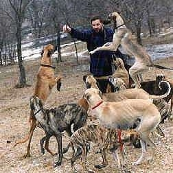 Nine Sloughis are surrounding a man with an item in his hand. Three of the dogs are jumping in the air.
