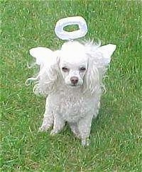 A white Toy Poodle is sitting in grass, it is dressed as an angel and it is looking forward. It has longer hair on its ears.