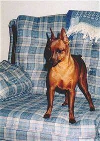 A perk-eared cropped, red Miniature Pinscher is standing on a light blue plaid couch looking over the edge.