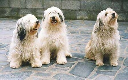 Three long shaggy, Polish Lowland Sheepdogs are sitting on a stone porch and they are looking up. There is a cinder block wall behind them.