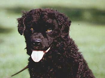 Close up head and upper body shot - A black Wetterhoun dog sitting in a field, it is looking forward, its mouth is open and its tongue is out. It has golden brown eyes. Its wavy ears hang down to the sides.