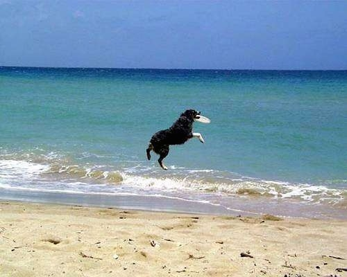Baron the Australian Shepherd is mid-air with a frisbee in its mouth over the beach water
