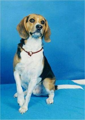 Kurgan the Beagle Harrier sitting in front of a blue backdrop