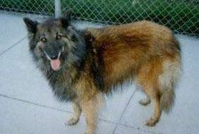 Brooke the Belgian Tervuren with its tongue out standing on a sidewalk with a chain link fence behind her