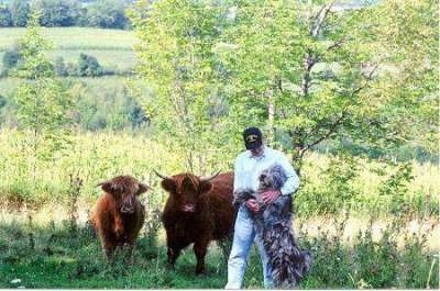 Bergamasco standing up in the arms of a person next to two cattle