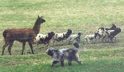 Bergamasco running as it herds sheep and a llama