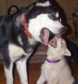 A black with white and tan Giant Alaskan Malamute is playing with a tan and white Husky puppy. Both of their mouths are open as they bite at one another.