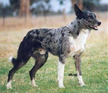 An alert black and grey with white merle color Koolis is standing in grass. Its mouth is open, its ear are back.