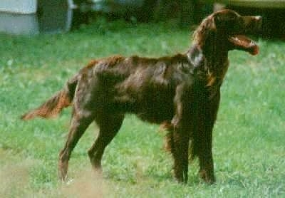 A German Longhaired Pointer is standing outside in grass with its mouth open and tongue out