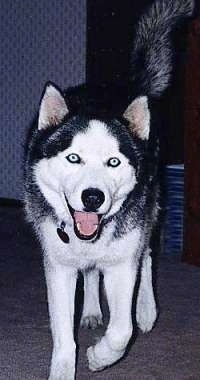 Front view - A black and white Siberian Husky is walking down a carpeted surface, it is looking forward, its mouth is open and it looks like it is smiling. The dog has blue eyes.