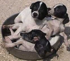 A litter of Japanese Terrier puppies are laying in a pan