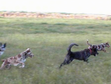 Action shot - Four Australian Koolie dogs are running across a field